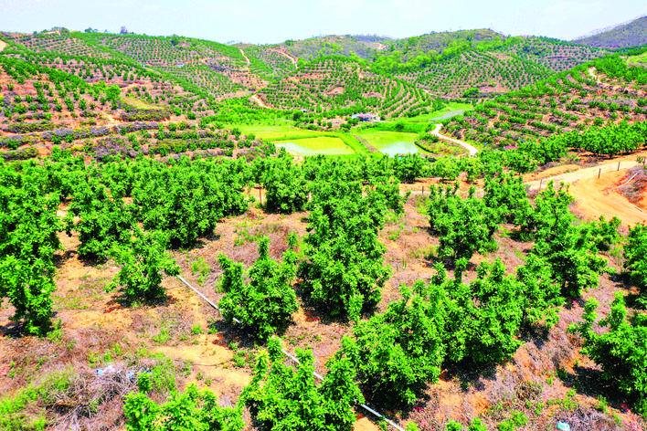 革命老区安墩镇葵双村种植了万亩蜜柚。